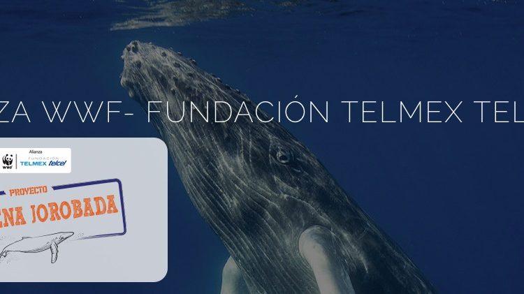 Concurso Telcel WWF Proyecto Ballena Jorobada: Gana celulares para tu familia en lanaturalezanosllama.com